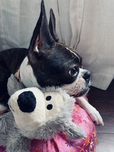 Penny, the Boston Terrier, playing with her toy
