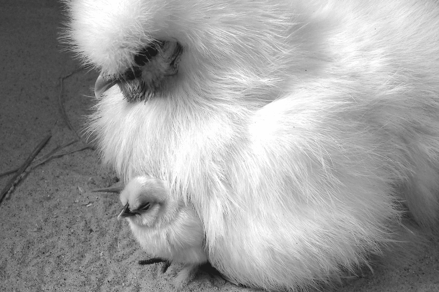 mother hen & baby chick